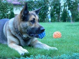 Hvordan trener jeg spesielle hunder for funksjonshemmede i Tennessee?