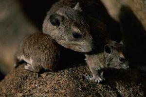 Hvordan håndtere Rotter i Attic