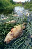 Hva ville føre til et stort antall fisk til Plutselig Dø i en dam?