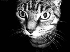 Hvordan en sykdom kan overføre fra en katt til en menneskelig