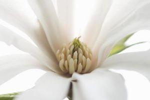 Effekter av Magnolia Bark Herb