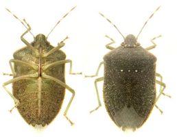 Bugs som ser ut som Veggedyr