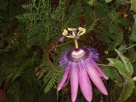 Ved hjelp av Passion Flower for Zoloft Tilbaketrekking