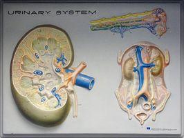 påvirkes binyrene an nyresvikt