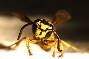 Hva er behandlingen for gul jakke og bie stikk?