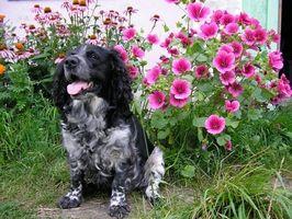 Hva er fordelene med Black Walnut tinktur for dyr?