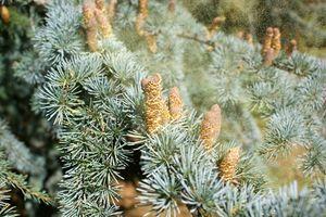 Hva er Perennial allergisk rhinitt?