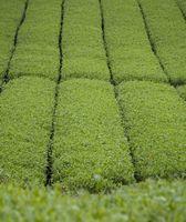 Barley Grass Fordeler