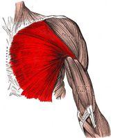 Hensikten med det muskulære systemet