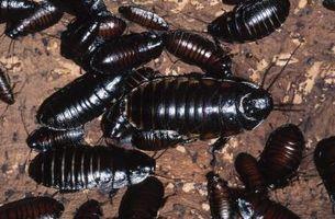 Hva Dreper Kakerlakker naturlig?