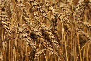 Wheat Germ Meal Vs.  Hvetekim