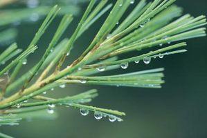 Slik pakker du ut Essential Pine Tree Oil