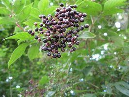 Hyllebær Buerger sykdom