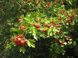 Hva er Hawthorn Berry brukes til?