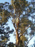 Hva er allergi symptomer til Eucalyptus Pollen?