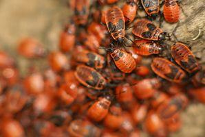 Hvordan behandle en seng Bug Infestation