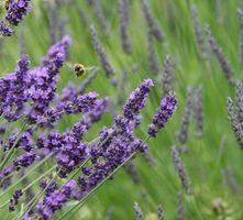 Hvordan Fortynn Din Lavender Essential Oil