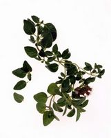 Oregano ointment sample recommendations