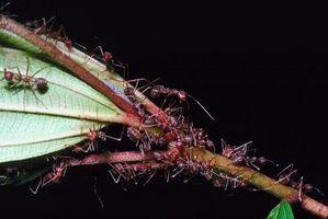 Hvordan tørke ut brann maur biter