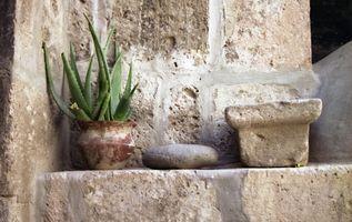 Aloe Vera Plant & Acne
