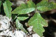 Poison Oak Utslett Symptomer
