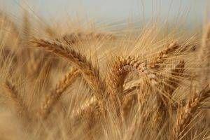Tegn og symptomer på en Gluten allergi i Kids