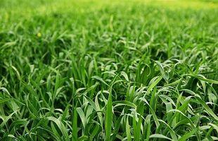Slik Guide til Growing Wheatgrass