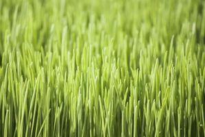 Hvordan å bade Med Wheat Grass Juice
