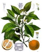 Bivirkninger av Bitter Orange