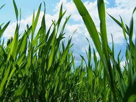 Hva er fordelene med Wheatgrass Shots?