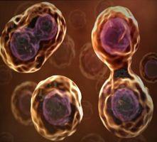 Hvordan Cells Reprodusere?