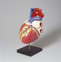 Anatomy & Physiology for koronar hjertesykdom