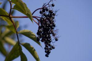 Hyllebær Seed Toxicity