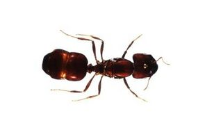 Hvordan å nøytralisere Brann maur biter