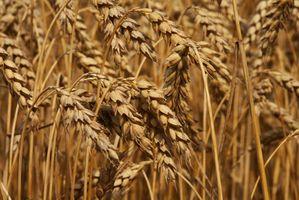 Hvordan spise hvetekim