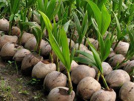 Helsemessige fordeler Vs.  Advarsler fra Coconut Oil
