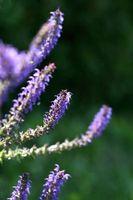 Hva er de helsemessige fordelene av Lilac?