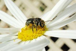 Fordelene av Bee Pollen