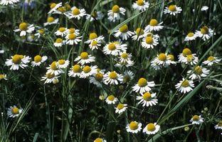 Bivirkninger av høy daglige doser av Kamille