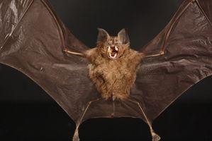Hvordan Test for Bat Rabies