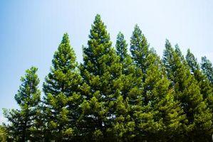 Pine Tar Helse Bruker