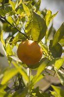Hvilke Frukt og grønnsaker vokser i Florida?