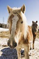 Equine Herpes Virus & URT Disease