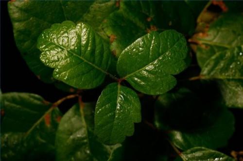 Slik unngår du at en Poison Oak Utslett