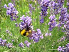 Bivoks og Aromaterapi