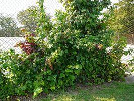 Den beste behandling for Poison Ivy mens gravide