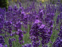 Hva er farene ved Lavender Oil?