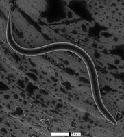 Threadworm Behandlinger