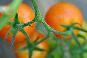 Hvordan bruke Tomato Pulp for å kurere akne