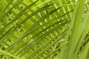 Hva er forskjellen mellom Saw Palmetto Extract & Saw Palmetto Organic?
